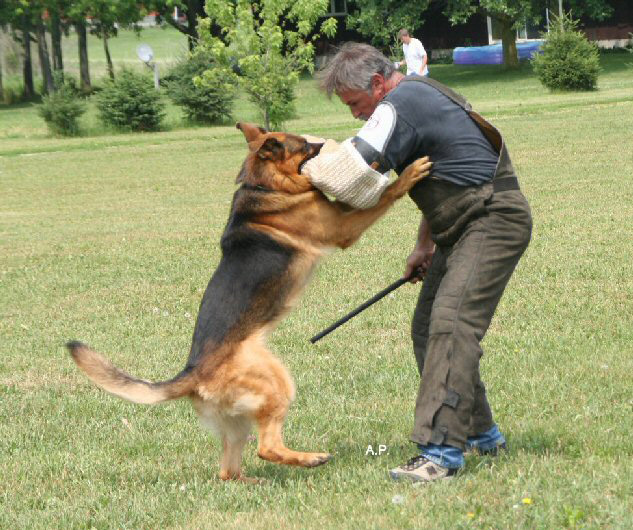 German Shepherd working showline
