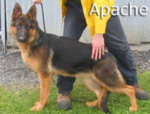 Pictures of our German Shepherd Puppies, Les Anges Gardiens
