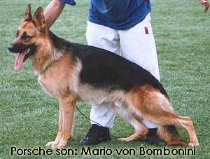 German Shepherds dog