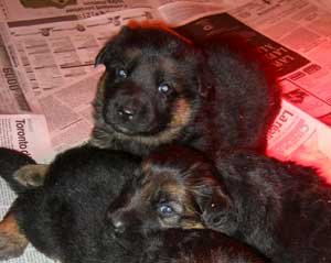 photo chiot berger allemand