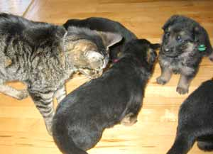 german shepherds puppies playing with cat