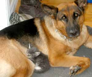 German shepherd with sleeping kitten