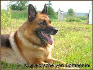 German Shepherd stud dog Porsche Von Bombonini