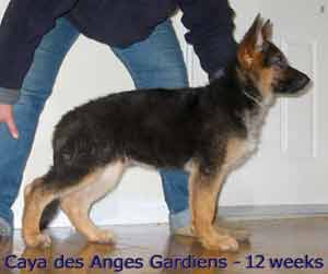 Pictures Of Our German Shepherd Puppies Les Anges